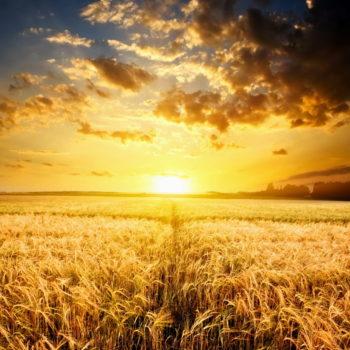 Divine Truth Hub - Fields of Gold